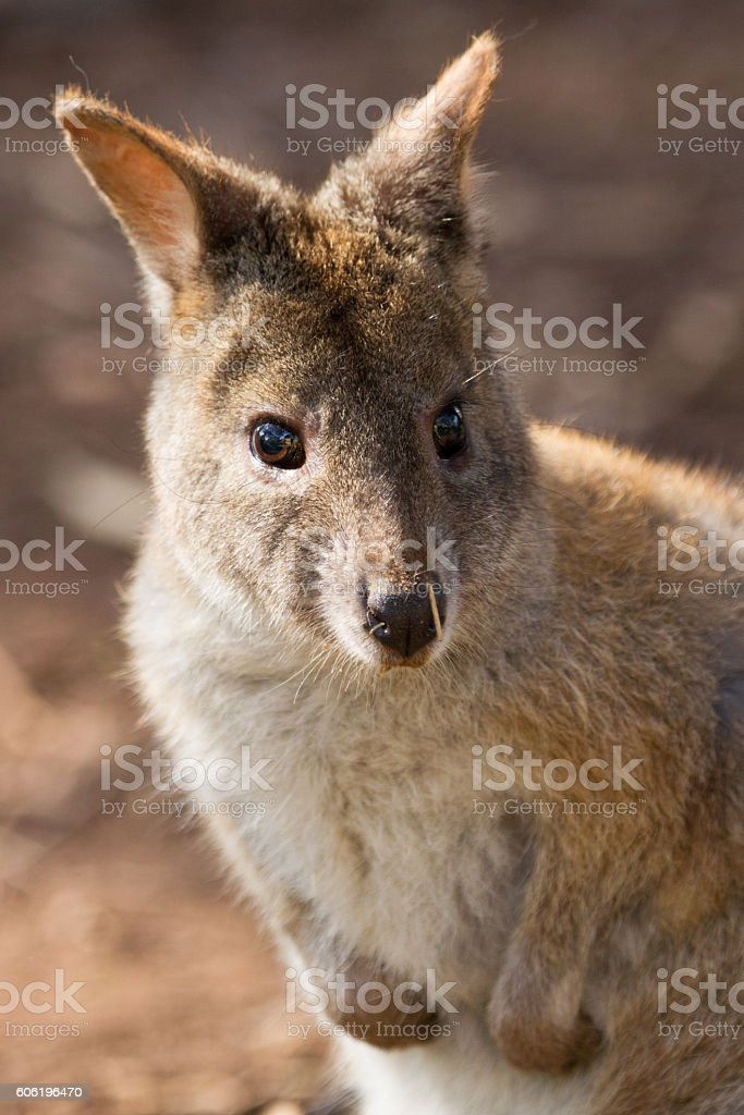 Pademelon Face stock photo