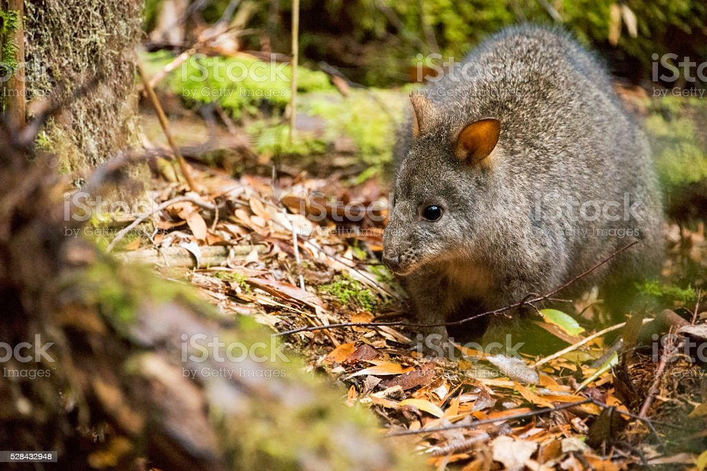 Pademelon in Tasmania stock photo