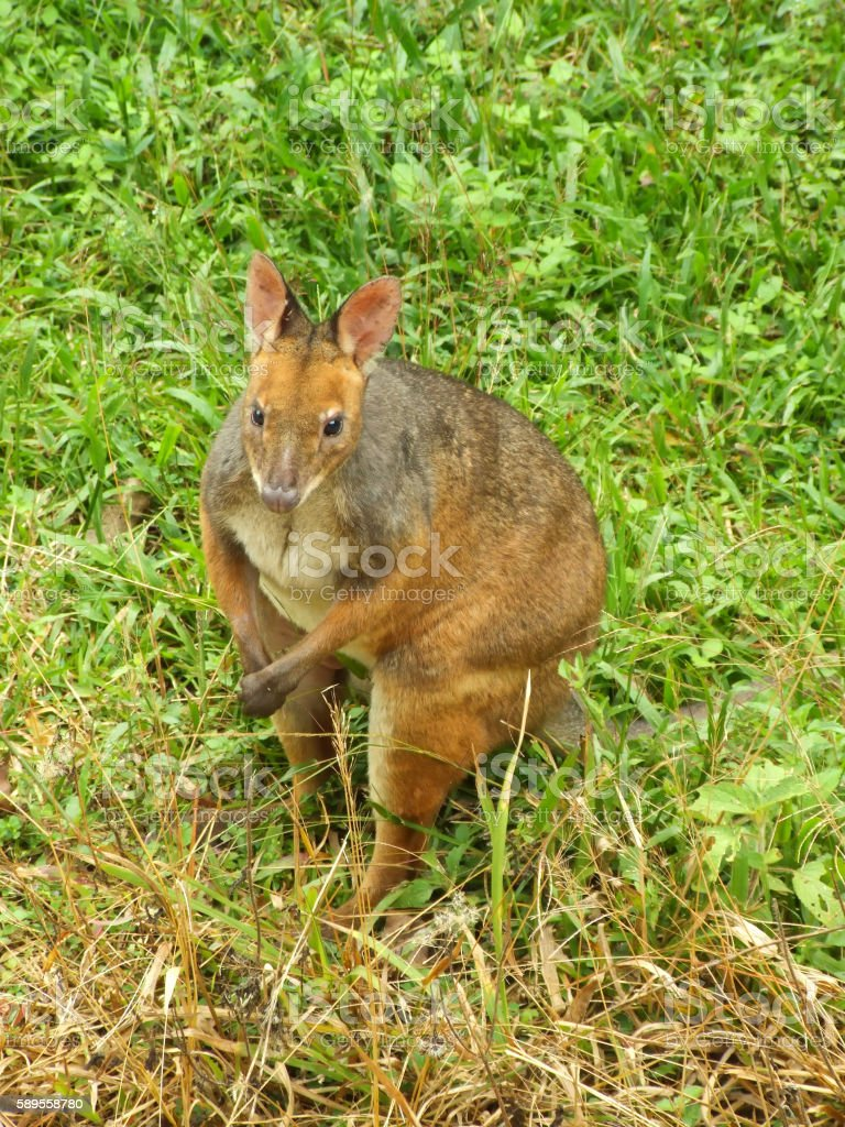Pademelon on grass stock photo