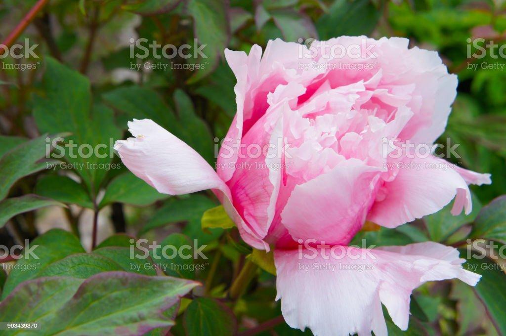 Paeonia suffruticosa ou rose pivoine capitule au feuillage vert - Photo de Arbre libre de droits