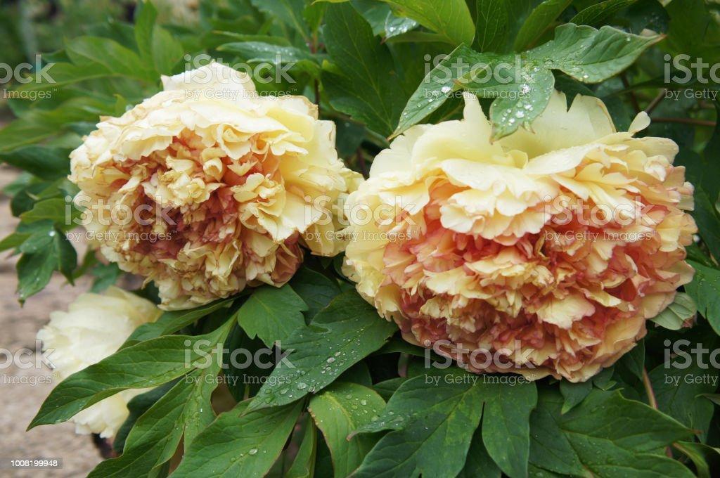 Paeonia suffruticosa or tree peony kinkaku red and yellow two flowers - foto stock