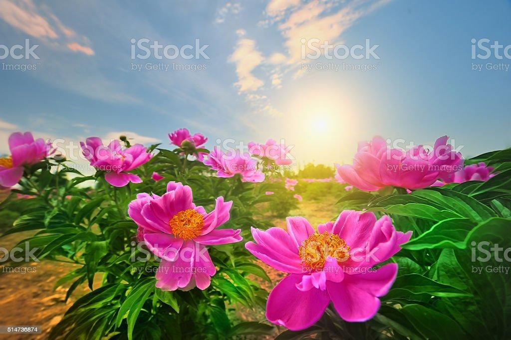 Paeonia suffruticosa, stock photo