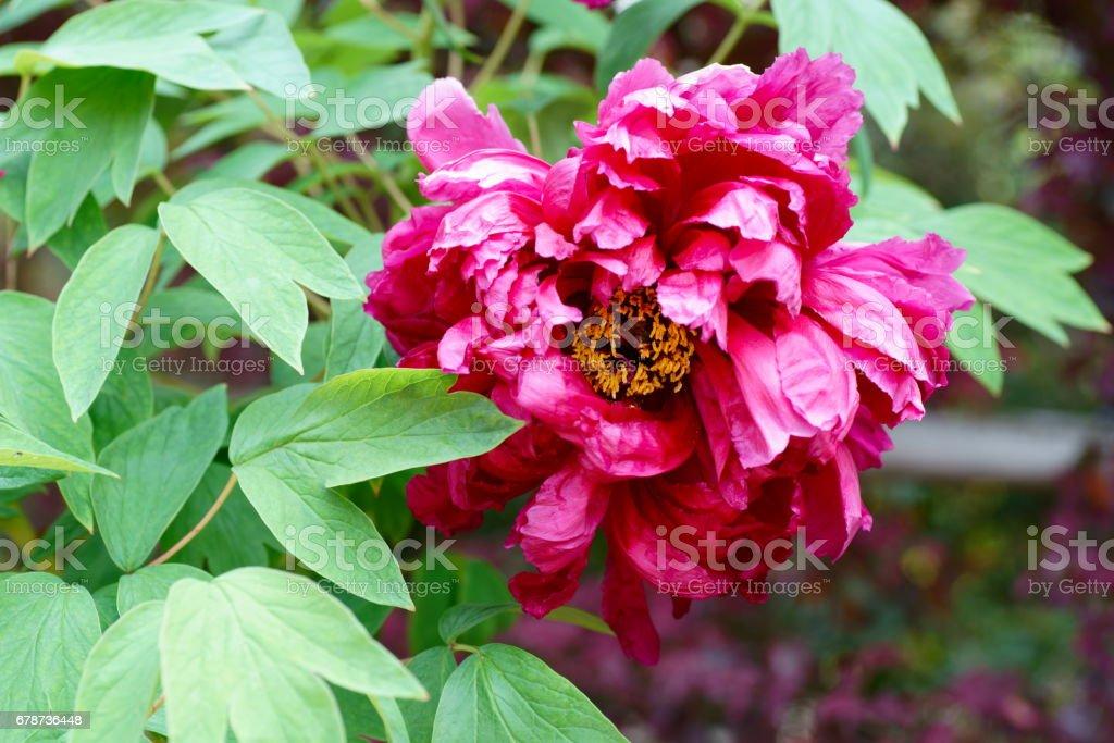 Paeonia suffruticosa royalty-free stock photo