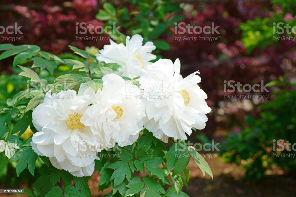 Paeonia suffruticosa photo libre de droits
