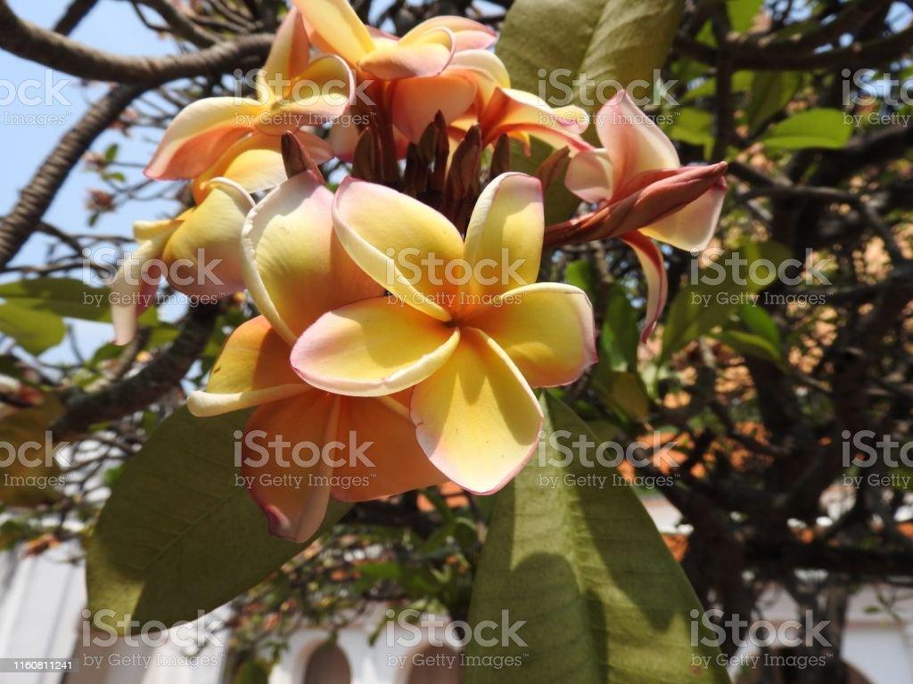 pagodenbaum in verschiedenen Farben und verschiedenen Sorten