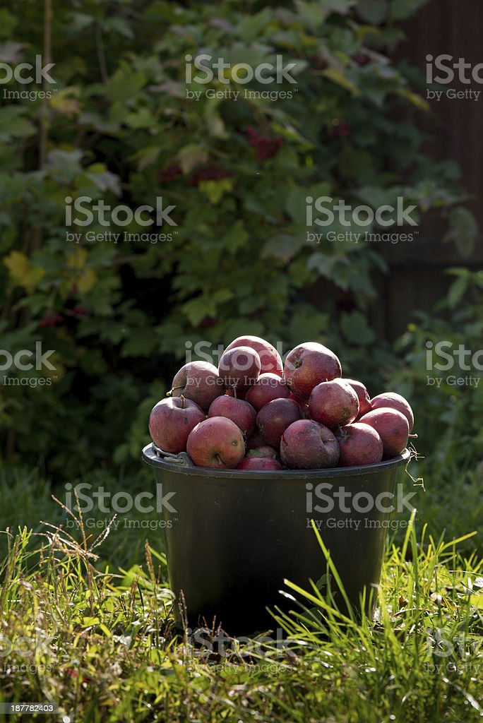 pail of fresh ripe apples in garden on green grass stock photo