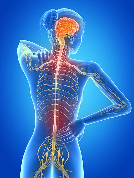 painful back nerves medical 3d illustration - female having backache spine body part stock pictures, royalty-free photos & images