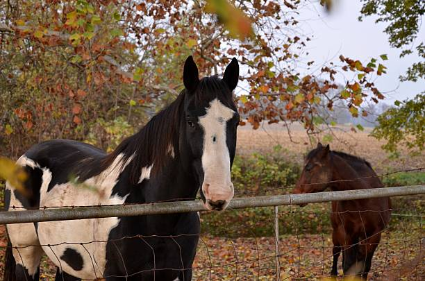 B&W Paint Horse Among Autumn Leaves stock photo