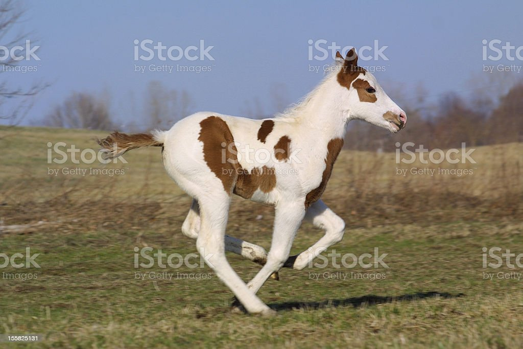 Paint horse foal cantering in a field stock photo