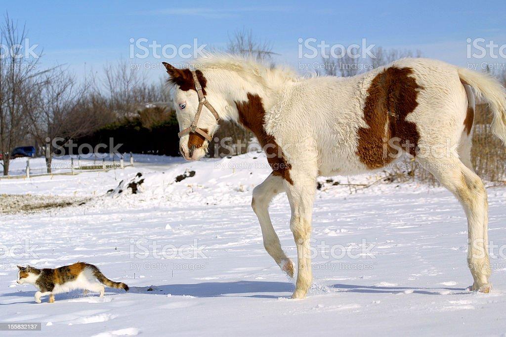 Paint horse foal following cat through snow stock photo