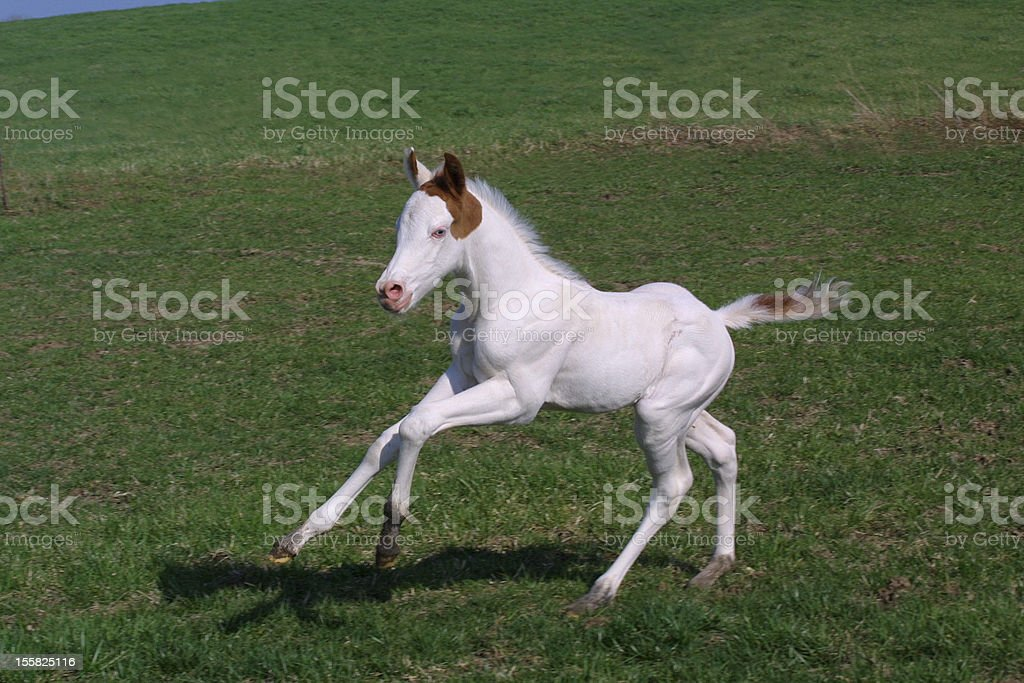 Paint horse galloping in field stock photo