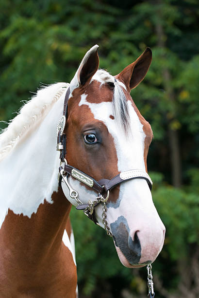 Paint Horse Head Shot, Beautiful Yearling in Silver Halter Stock photo head shot of a beautiful yearling paint horse, cleaned up for a horse show event. paint horse stock pictures, royalty-free photos & images