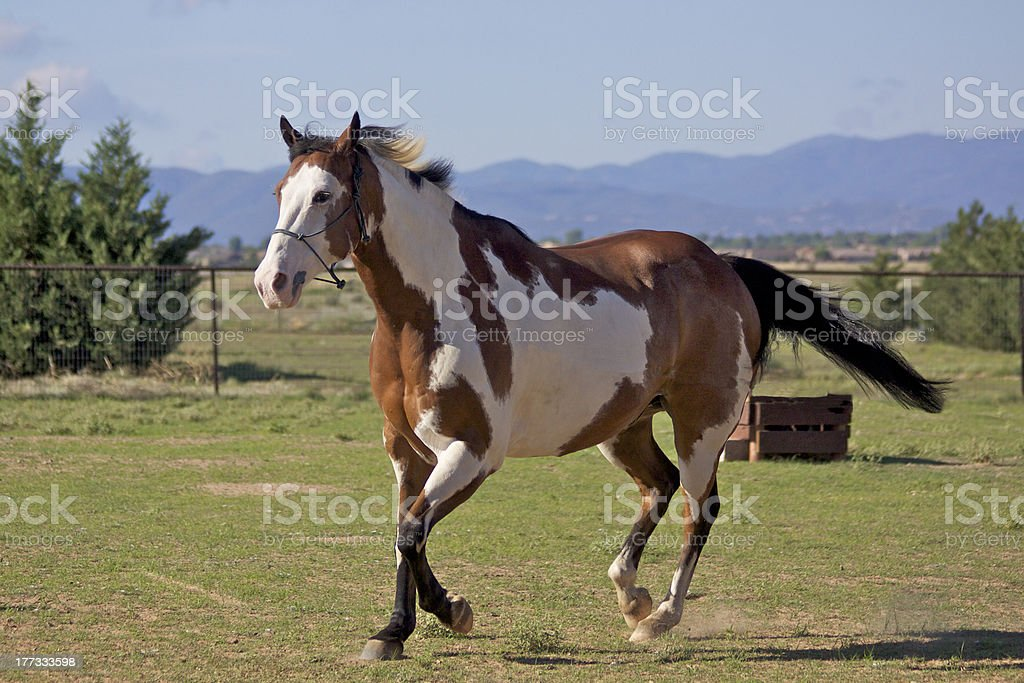 Paint Horse in Motion stock photo