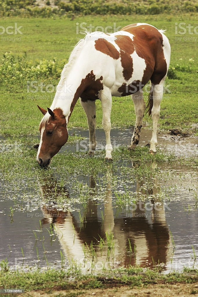 Paint Horse Mare Drinking Reflection stock photo