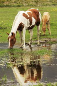 Paint horse mare and palominl colt browsing and drinking, with standing water reflection.  Provo, Utah, 2009.