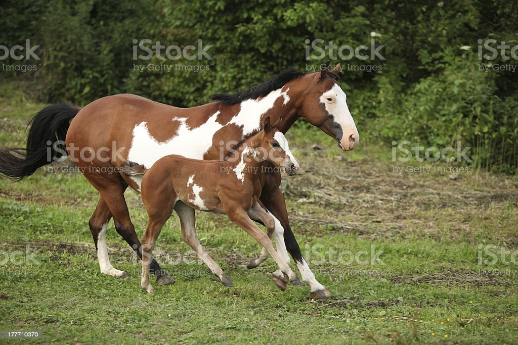 Paint horse mare with adorable foal on pasturage stock photo