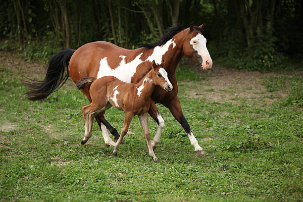 Paint horse mare with adorable foal on pasturage Paint horse mare with adorable foal on pasturage in summer paint horse stock pictures, royalty-free photos & images