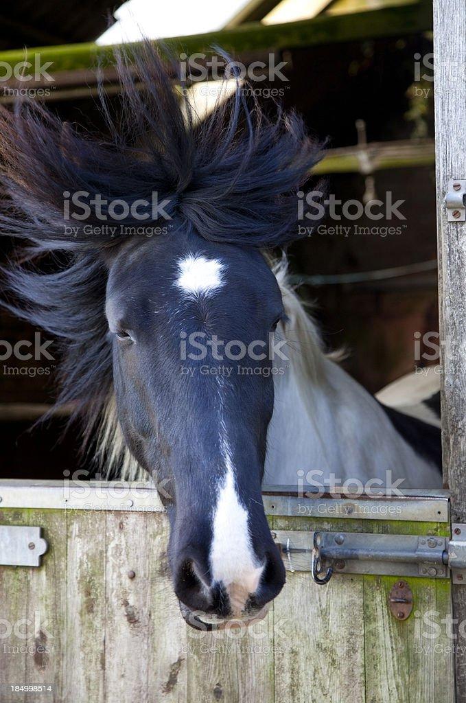 paint horse over stable door stock photo