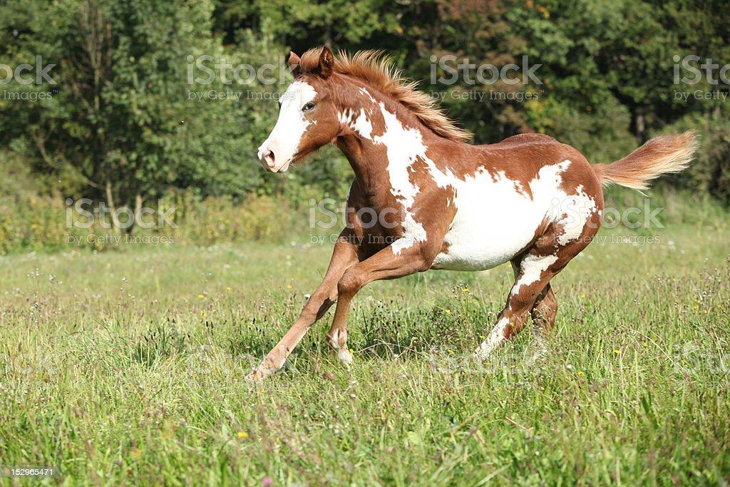 Paint horse stock photo