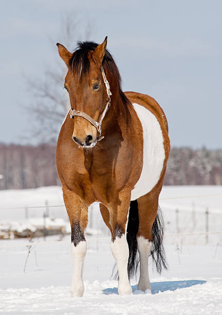 Paint horse Paint stallion in snowy winter paint horse stock pictures, royalty-free photos & images