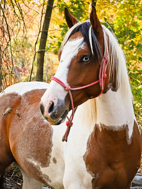Paint Horse Paint horse with beautiful blue eyes. paint horse stock pictures, royalty-free photos & images