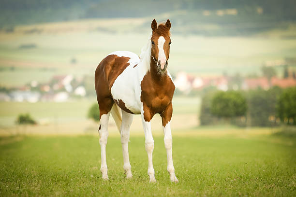 Paint Horse Junghengst auf der Weide paint horse stock pictures, royalty-free photos & images