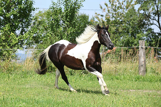 Paint horse running on pasturage Paint horse running on pasturage in front of some trees paint horse stock pictures, royalty-free photos & images