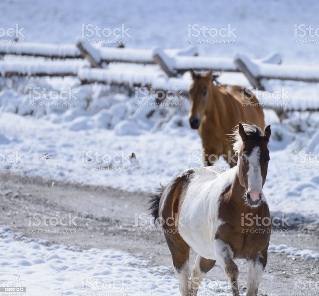 Paint horse walking in the snow in Montana USA 01 stock photo