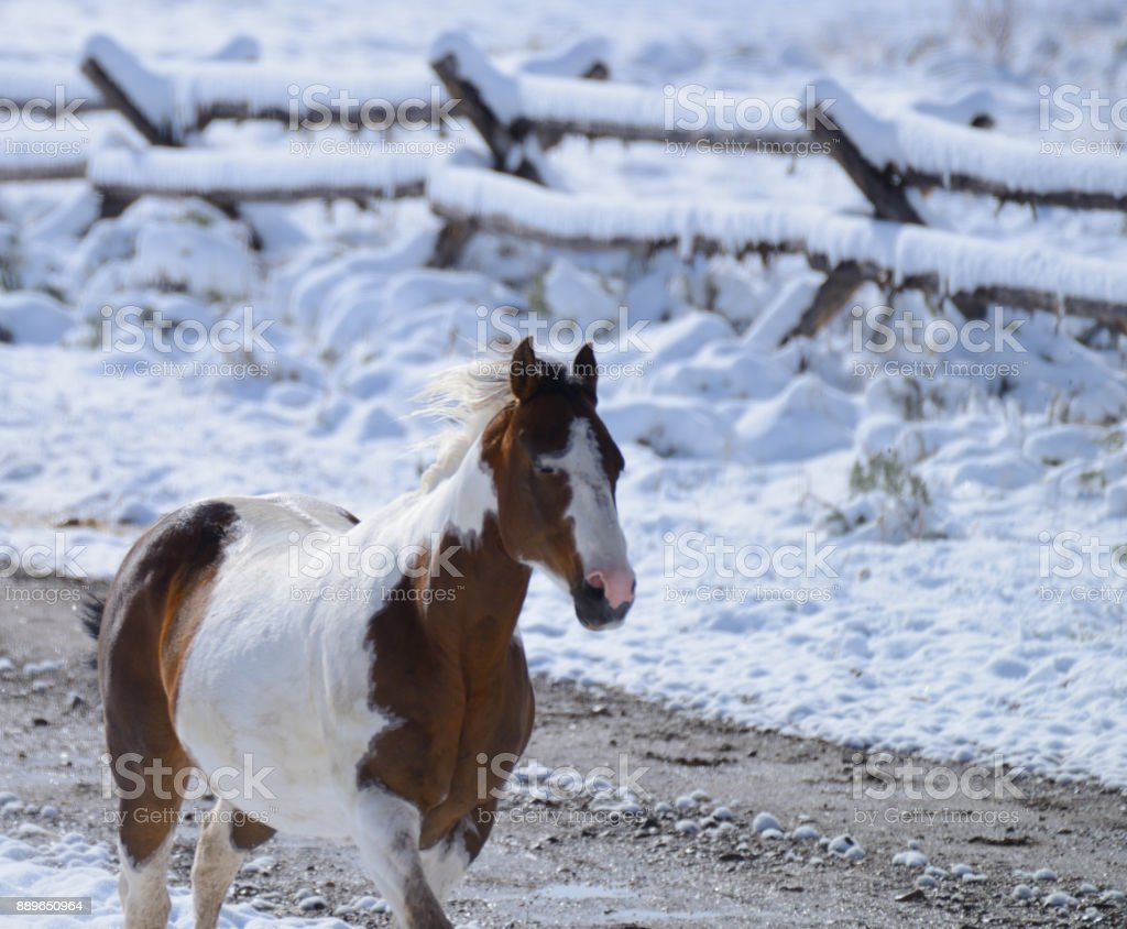 Paint Horse walking in the snow in Montana USA 02 stock photo