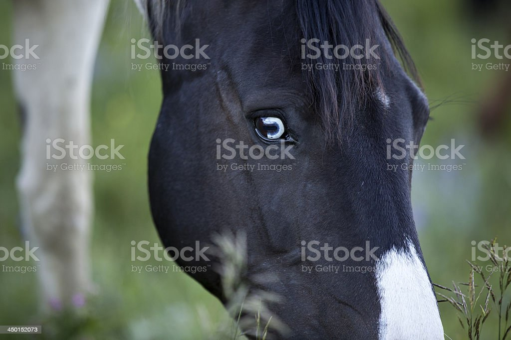Paint Horse with Vibrant Blue Eye stock photo