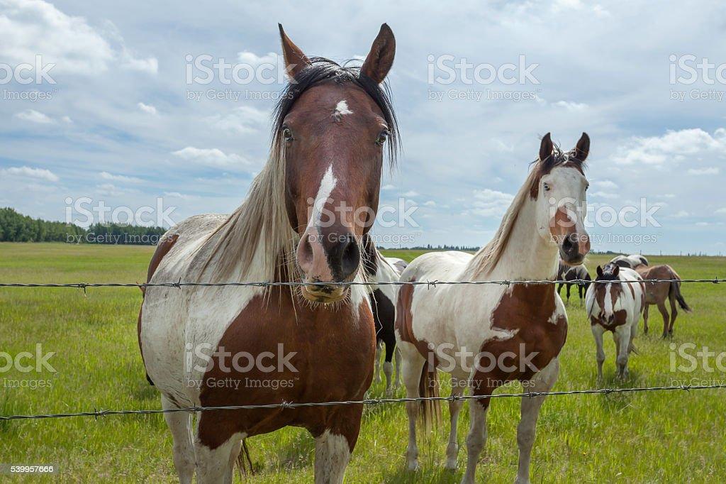 Paint Horses stock photo