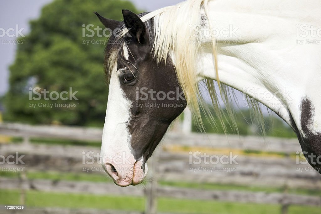 Paint Mare stock photo