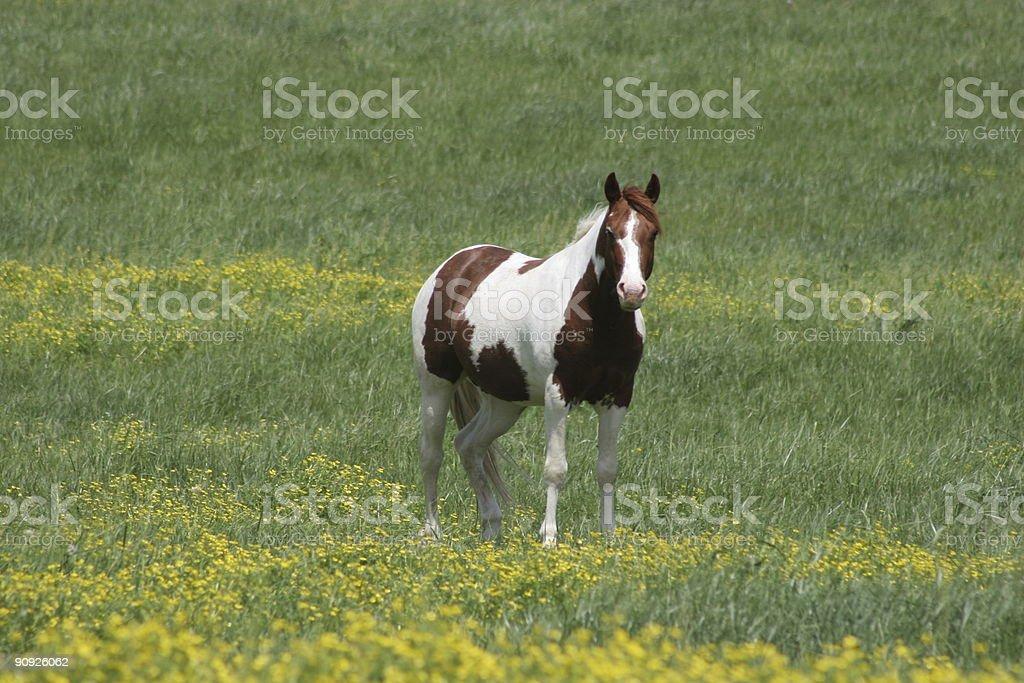 Paint Stallion stock photo