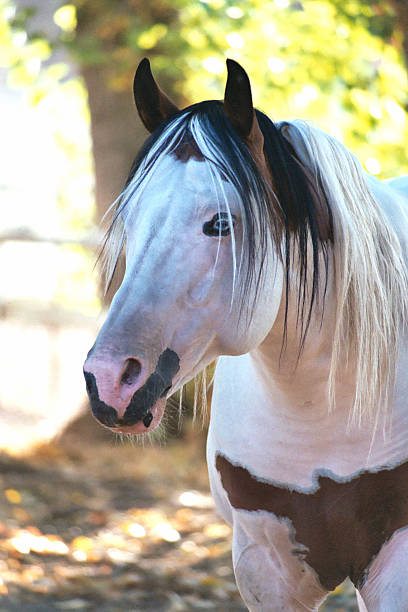 Paint Stud Horse  paint horse stock pictures, royalty-free photos & images