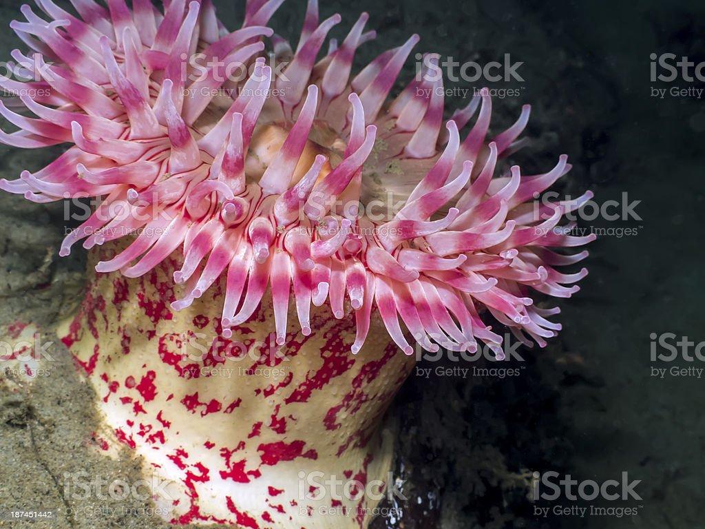 Painted Anemone (Urticina grebelnyi) stock photo