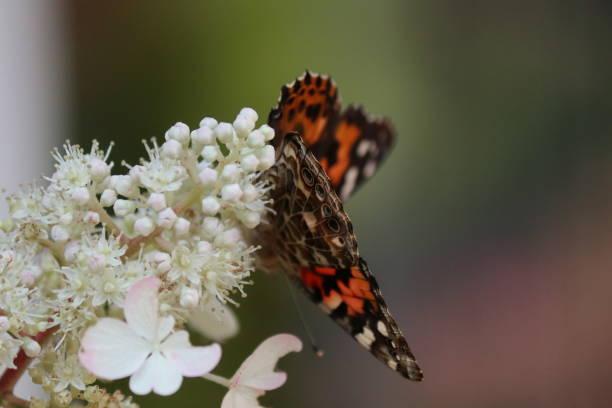 papillon monarque belle dame de profil sur un hydrangea - josianne toubeix photos et images de collection