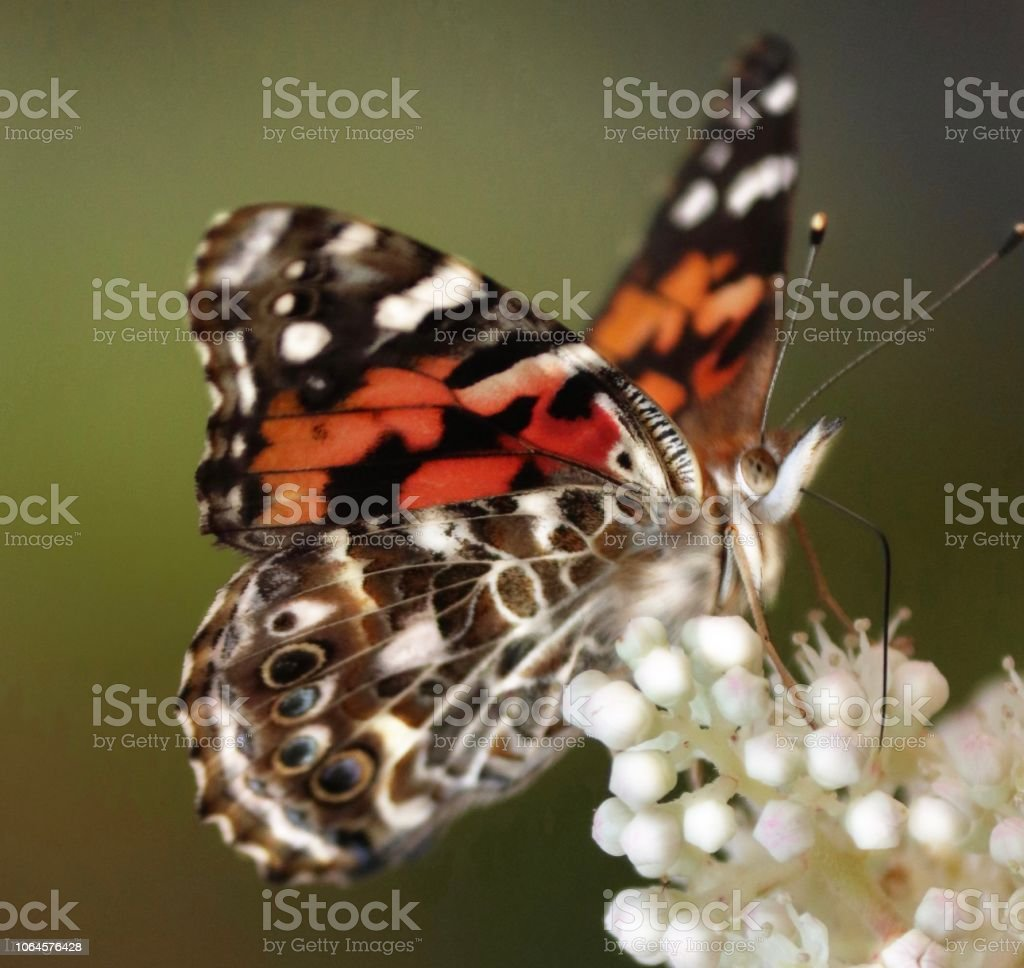 A painted beautiful lady butterfly on a white hydrangea stock photo