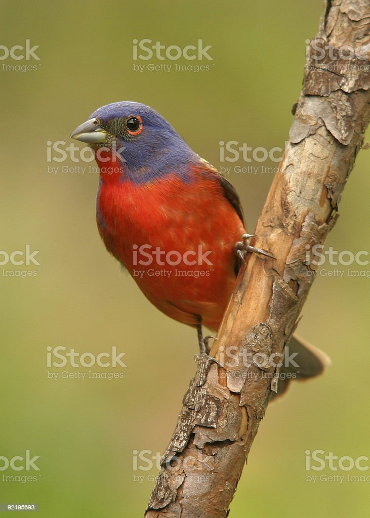 Painted Bunting 2 royalty-free stock photo