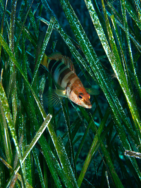 Painted comber in the seagrass stock photo