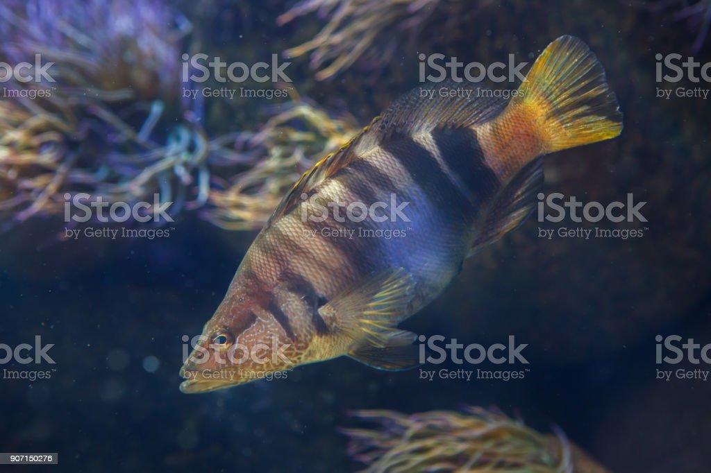 Painted comber (Serranus scriba) stock photo
