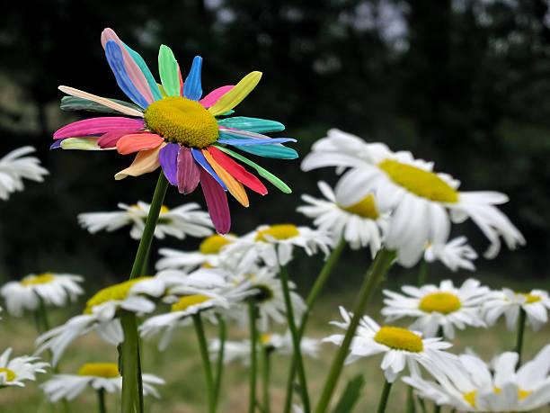 Painted daisy among daisies picture id178375189?b=1&k=6&m=178375189&s=612x612&w=0&h=1ihb2m9mbzs6okpf getdyofa 5rympi eay9uyy7x4=