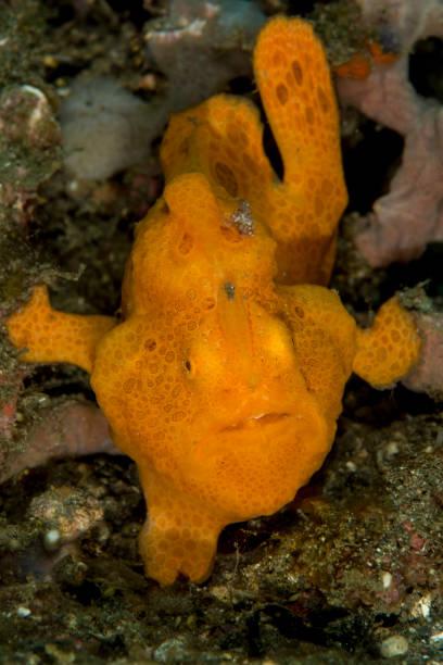 painted frogfish - Antennarius pictus stock photo