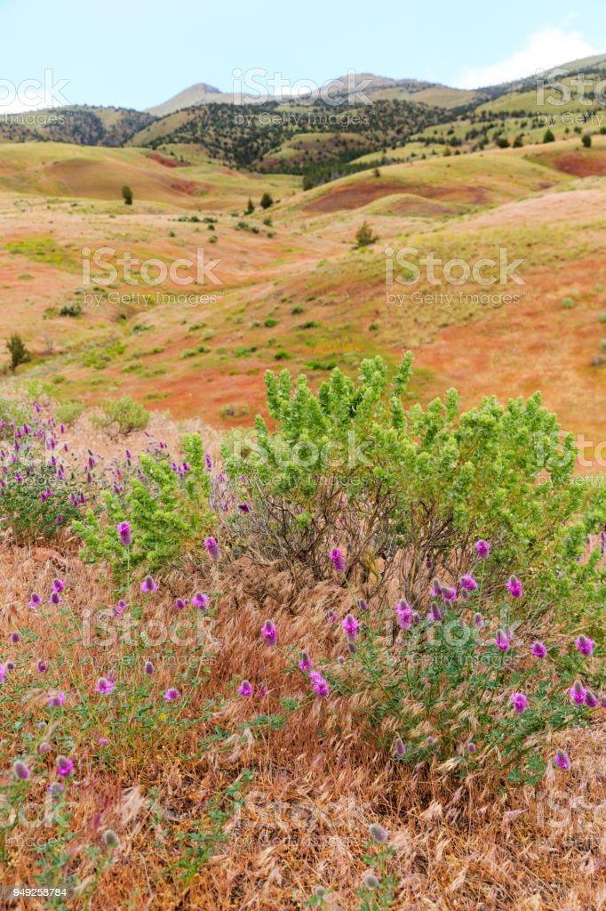 Painted Hills, Oregon, wildflowers stock photo