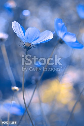 istock Painted in blue flowers. Blue cosmos with a soft focus. A beautiful artistic image. 920014268