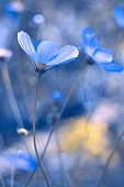 Painted in blue flowers. Blue cosmos with a soft focus. A beautiful artistic image