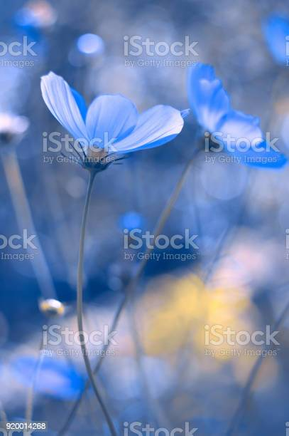 Painted in blue flowers blue cosmos with a soft focus a beautiful picture id920014268?b=1&k=6&m=920014268&s=612x612&h=oehwkcjp814a1kka3kcfmufnersdu5kjbxf3fkjnzq4=