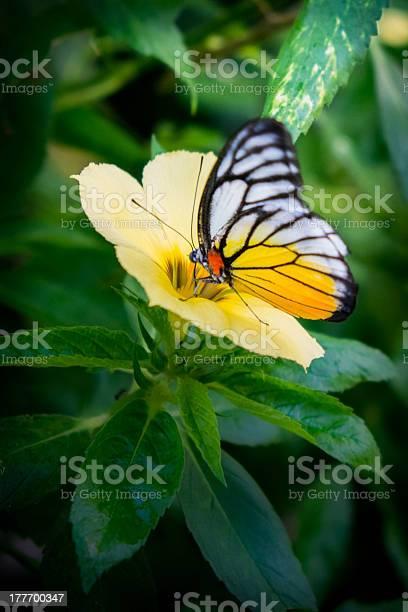 Painted jezebel butterfly picture id177700347?b=1&k=6&m=177700347&s=612x612&h=vv3p9 nkzu2vjaesvpvb8infv9bdrvfpt rl1fuzdnw=