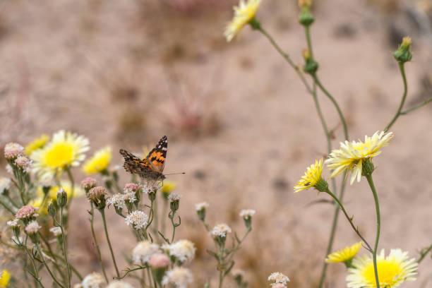 Painted ladies butterfly pollinating desert wildflowers in california picture id1203268399?b=1&k=6&m=1203268399&s=612x612&w=0&h=nffxk7oqjhb5qcpswhdqyv udrpnnoknuseiol4op14=