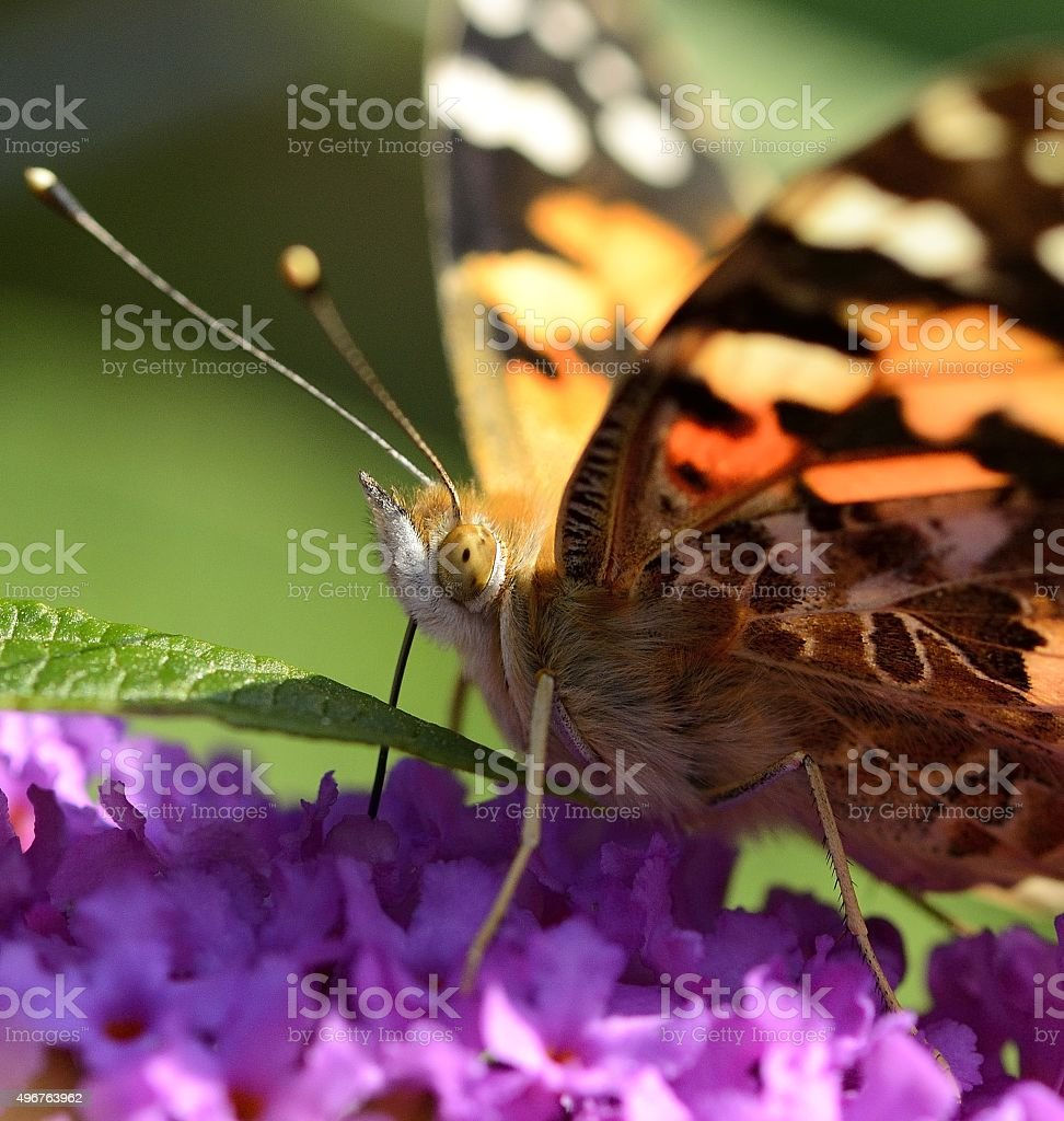 Painted Lady butterfly feeding stock photo