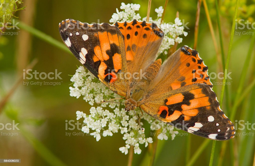 Painted Lady butterfly in summer stock photo